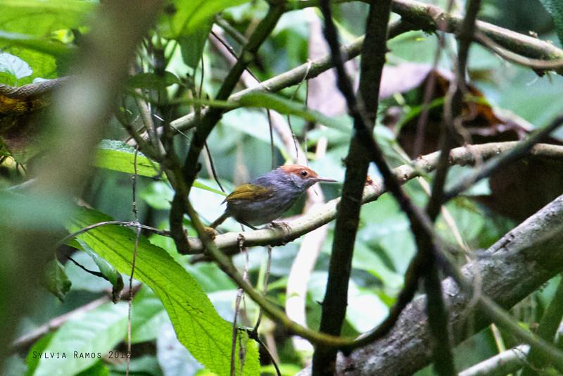 GREY-BACKED TAILORBIRD <i>Orthotomus derbianus</i> Mt. Makiling, Laguna, Philippines