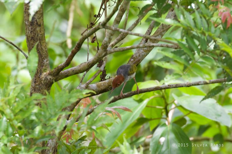 PHILIPPINE TAILORBIRD
