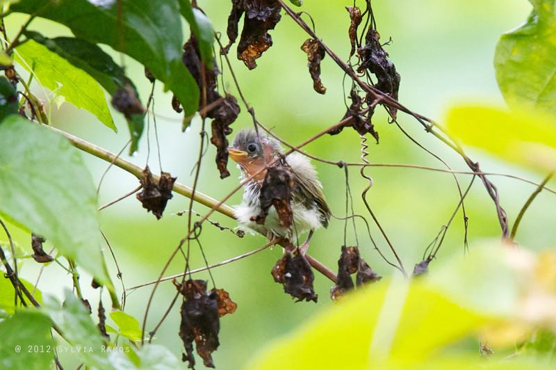 RUFOUS-FRONTED TAILORBIRD <i>Orthotomus frontalis </i> Bislig, Surigao del Sur, Mindanao, Philippines