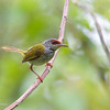 RUFOUS-FRONTED TAILORBIRD <i>Orthotomus frontalis </i> Bislig, Surigao del Sur, Mindanao, Philippines