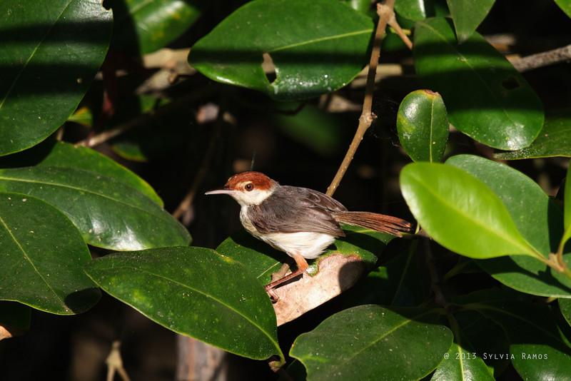 RUFOUS-TAILED TAILORBIRD <i>Orthotomus sericeus</i> Puerto Princesa, Palawan, Philippines