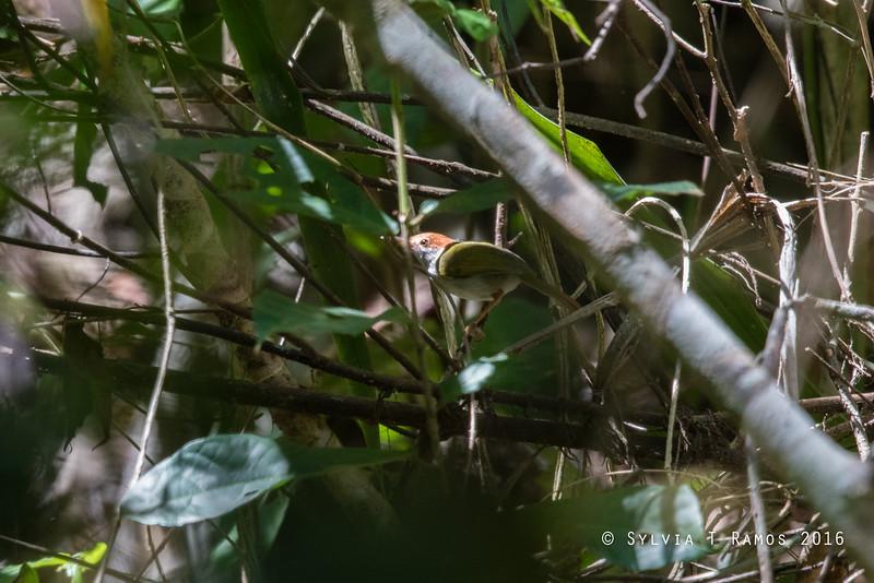TRILLING TAILORBIRD