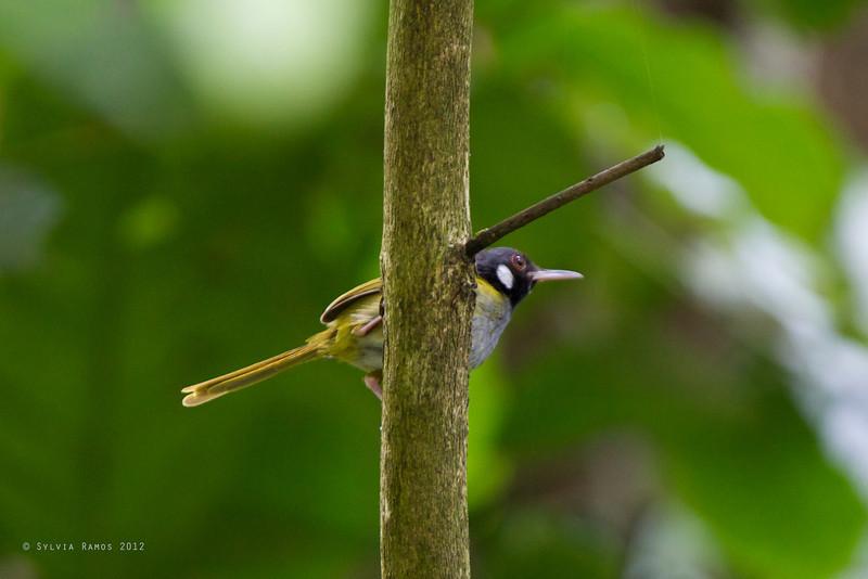 WHITE-EARED TAILORBIRD <i>Orthotomus cinereiceps</i> Pasonanca, Zamboanga, Philippines