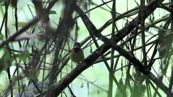 YELLOW-BREASTED TAILORBIRD <i>Orthotomus samarensis</i> Rajah Sikatuna National Park, Bilar, Bohol  video of a Yellow-breasted Tailorbird calling