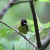 YELLOW-BREASTED TAILORBIRD <i>Orthotomus samarensis</i> Rajah Sikatuna National Park, Bilar, Bohol