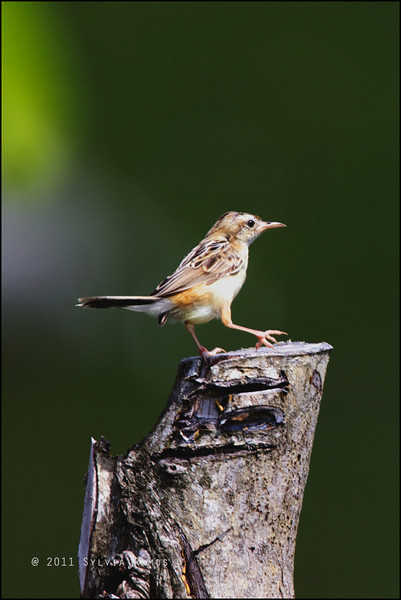 ZITTING CISTICOLA  <i>Cisticola juncidis</i> Batan, Batanes, Philippines  This is the <i>brunniceps</i> subspecies found in Batan, Ivojos, and Sabtang.