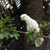 RED-VENTED COCKATOO <i>Cacatua haematuropygia</i> Narra, Palawan, Philippines