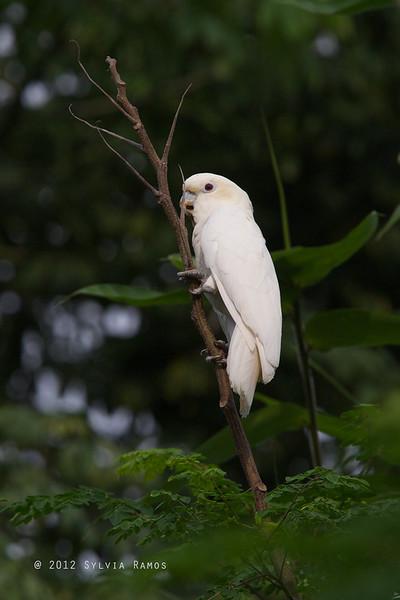 RED-VENTED COCKATOO, female on a <i>malunggay tree</i> <i>Cacatua haematuropygia</i> Narra, Palawan, Philippines