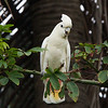RED-VENTED COCKATOO, male <i>Cacatua haematuropygia</i> Narra, Palawan, Philippines