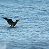 GREAT CORMORANT <i>Phalacrocorax carbo</i> Sabtang, Batanes