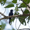 ASIAN DRONGO-CUCKOO aka Square-tailed Drongo-Cuckoo (IOC) <i>Surniculus lugubris</i> Puerto Princesa, Palawan