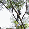 ASIAN DRONGO-CUCKOO aka Square-tailed Drongo-Cuckoo (IOC) <i>Surniculus lugubris</i> Iwahig, Palawan