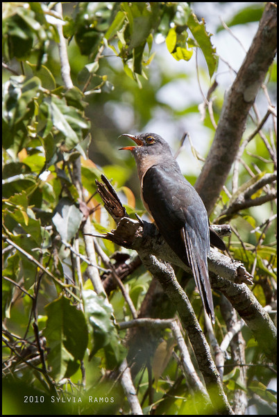 RUSTY-BREASTED CUCKOO  <i>Cacomantis sepulcralis</i> Mt. Kitanglad, Bukidnon, Philippines