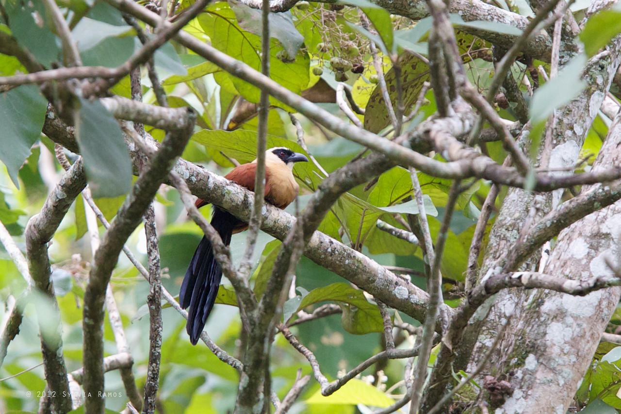 BLACK FACED COUCAL <i>Centropus melanops</i> Mapawa Nature Reserve, Malasag, Cagayan de Oro