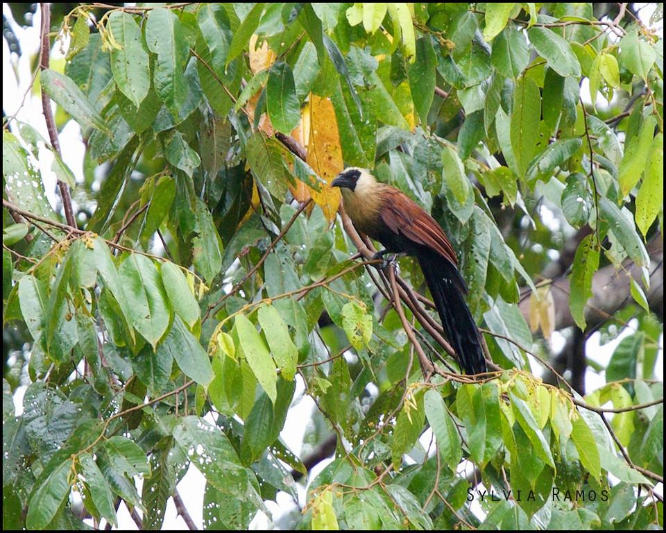BLACK FACED COUCAL <i>Centropus melanops</i> PICOP, Bislig, Surigao del Sur
