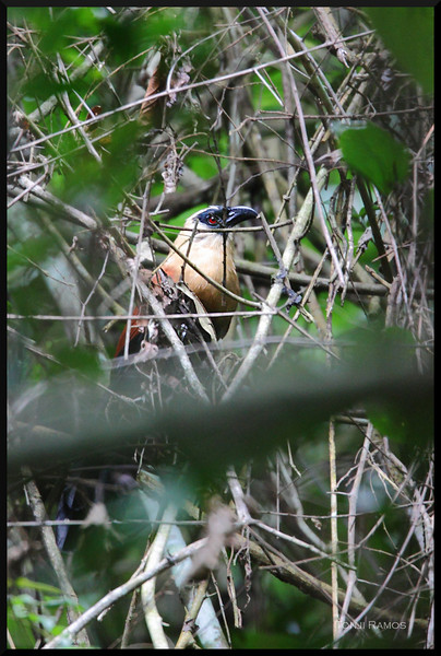 BLACK FACED COUCAL <i>Centropus melanops</i> Rajah Sikatuna Park, Bilar, Bohol