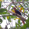 CHESTNUT- BREASTED MALKOHA <i>Phaenicophaeus curvirostris</i> Coron, Palawan, Philippines