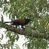 GREATER COUCAL <i>Centropus sinensis</i> Narra, Palawan, Philippines