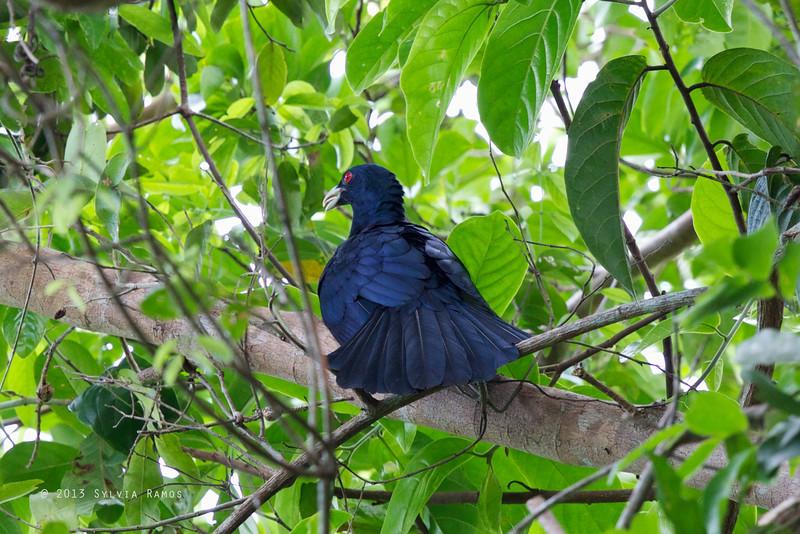 ASIAN KOEL aka Common Koel <i>Eudynamys scolopaceus</i> Sabang, Palawan, Philippines