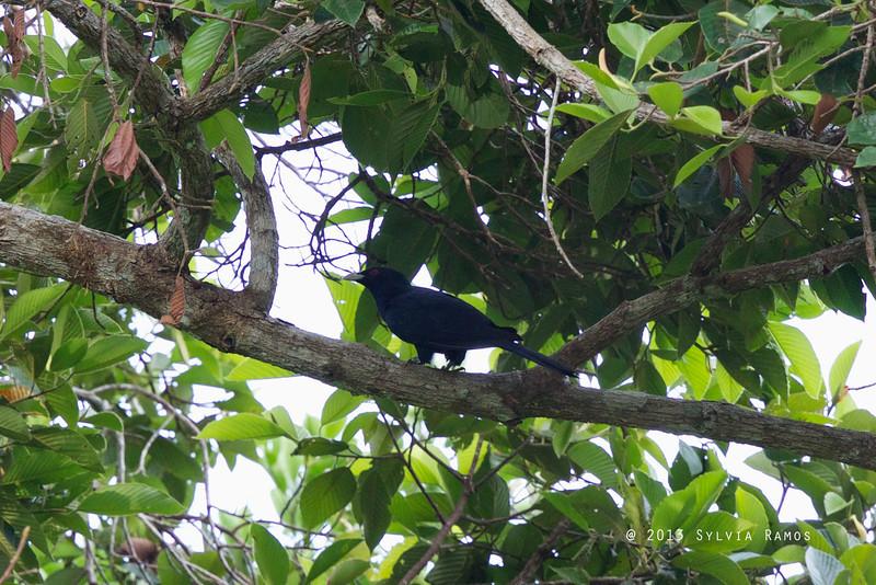 ASIAN KOEL aka Common Koel <i>Eudynamys scolopaceus</i> Sabang, Palawan, Philippines  This bird has a leg band.