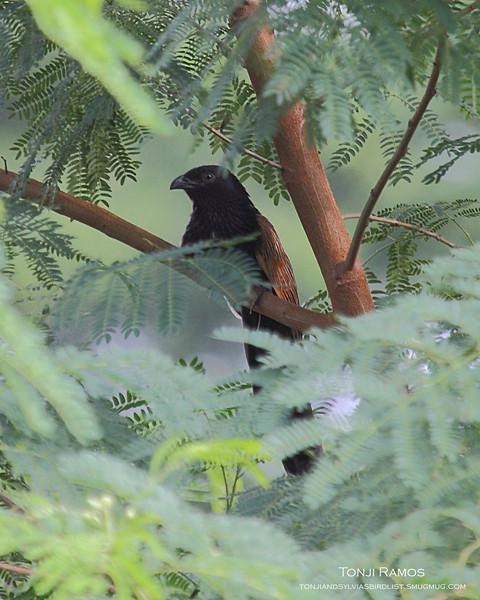 LESSER COUCAL  <i>Centropus bengalensis</i> Ayala Alabang, Muntinlupa, Philippines