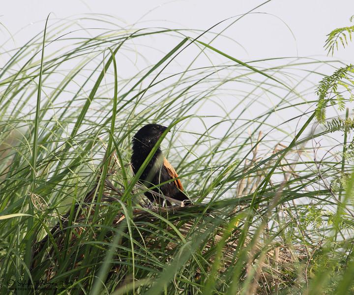 LESSER COUCAL  <i>Centropus bengalensis</i> Manila Bay, Philippines