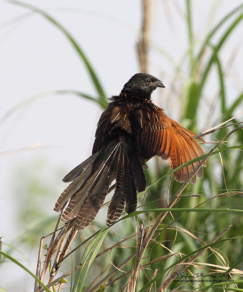 LESSER COUCAL  <i>Centropus bengalensis</i> Manila Bay, Philippines