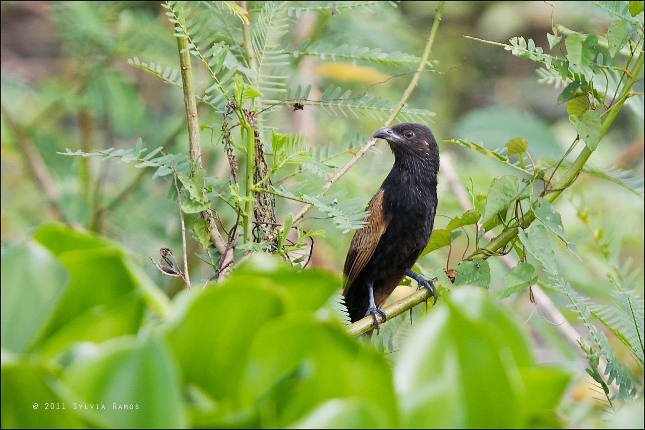 LESSER COUCAL  <i>Centropus bengalensis</i> Candaba, Pampanga, Philippines
