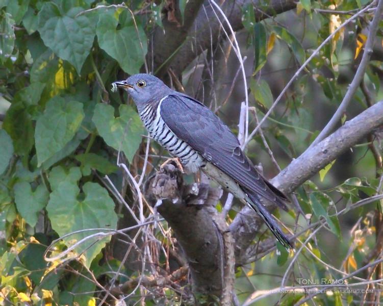 Oriental Cuckoo  <i>Cuculus saturatus</i> Alabang, Muntinlupa