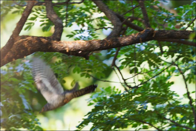 Oriental Cuckoo  <i>Cuculus saturatus</i> UP Diliman, Quezon City, Philippines