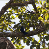 PHILIPPINE DRONGO-CUCKOO <i>Surniculus velutinus</i> Northern Sierra Madre, Luzon, Philippines