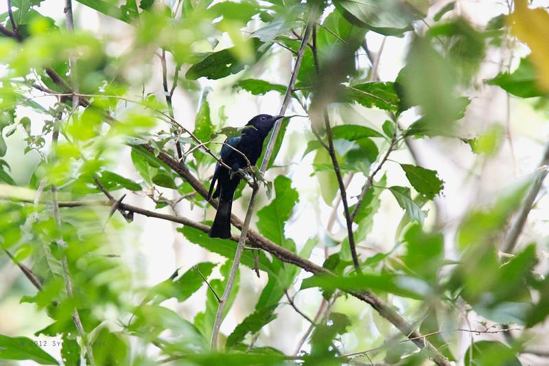PHILIPPINE DRONGO-CUCKOO <i>Surniculus velutinus</i> Mapawa Nature Reserve, Malasag, Cagayan de Oro