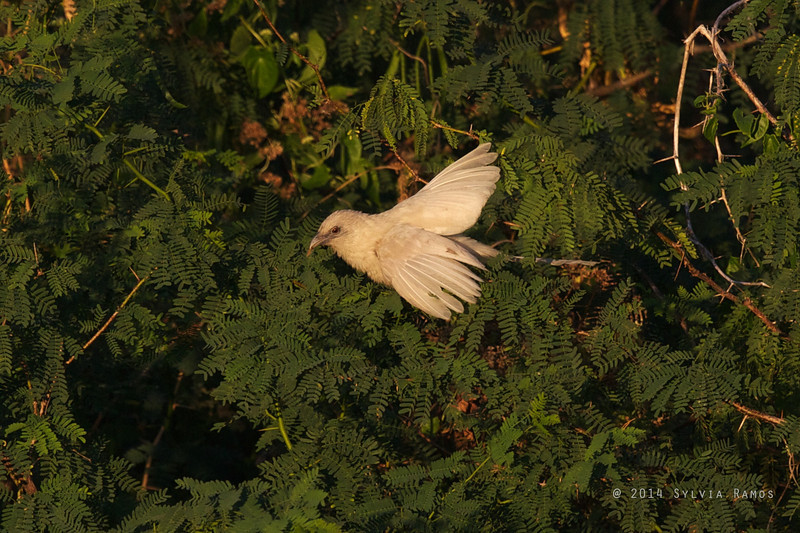 PHILIPPINE COUCAL <i>Centropus viridis</i> Laoag, Ilocos Norte  white morph