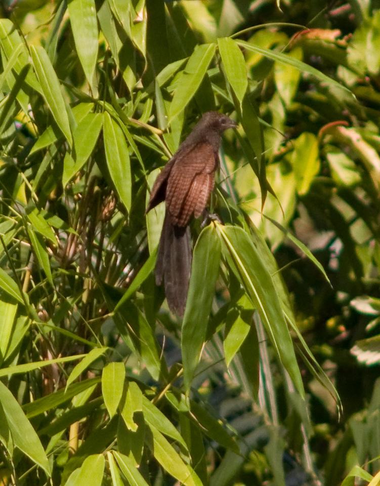 PHILIPPINE COUCAL, immature <i>Centropus viridis</i> Villa Escudero, Quezon, Philippines
