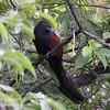 PHILIPPINE COUCAL <i>Centropus viridis</i> Sierra Madre, Nueva Ecija, Philippines