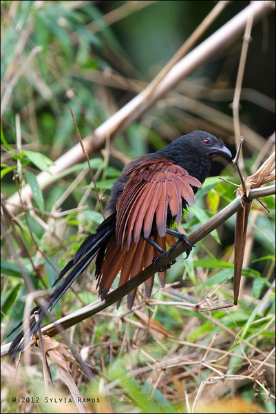 PHILIPPINE COUCAL <i>Centropus viridis</i> Mt. Palay-Palay, Cavite, Philippines