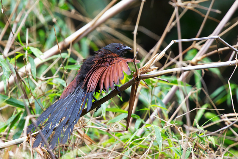PHILIPPINE COUCAL <i>Centropus viridis</i> Mt. Palay-Palay, Cavite, Philippines  It is spreading out its feathers to dry.