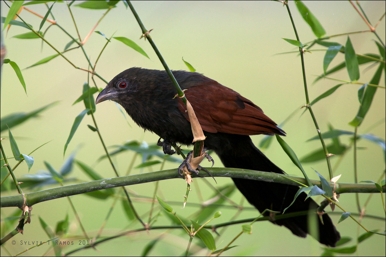 PHILIPPINE COUCAL <i>Centropus viridis</i> Arayat, Pampanga