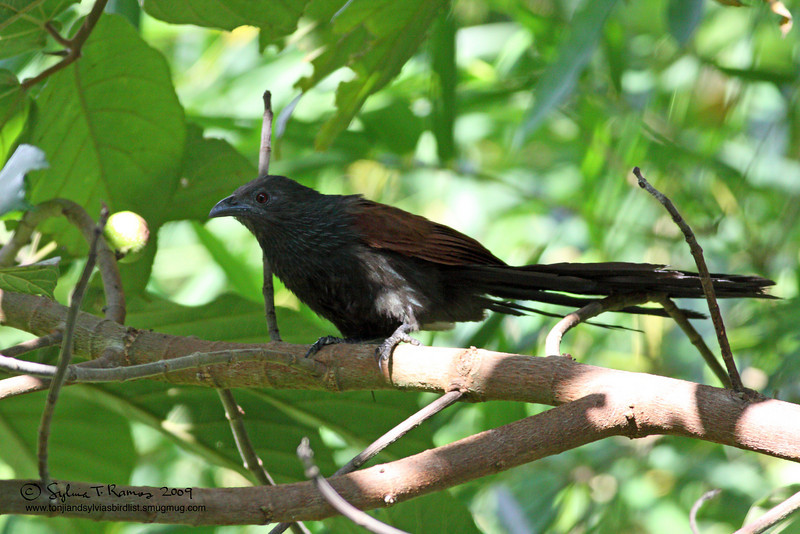 PHILIPPINE COUCAL <i>Centropus viridis</i> Mt. Palay-Palay, Cavite, Philippines  There were several of these birds along the road. They usually sly away when people are near. But Sylvia was able to capture this bird before it hid.