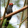 ROUGH CRESTED MALKOHA <i>Dasylophus superciliosus</i> Mt. Makiling, Laguna, Philippines