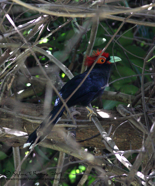 ROUGH CRESTED MALKOHA <i>Dasylophus superciliosus</i> Mt. Palay Palay, Cavite