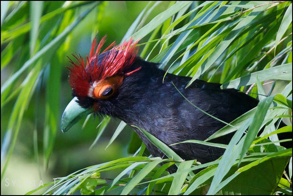 ROUGH CRESTED MALKOHA <i>Dasylophus superciliosus</i> Subic, Zambales, Philippines look at those eyelashes!