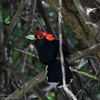 ROUGH CRESTED MALKOHA <i>Dasylophus superciliosus</i> Mt. Palay Palay, Cavite  This bird is always hiding, refusing an easy picture. But it stayed still for a bit with the sun hitting its trademark Red crest, nice.