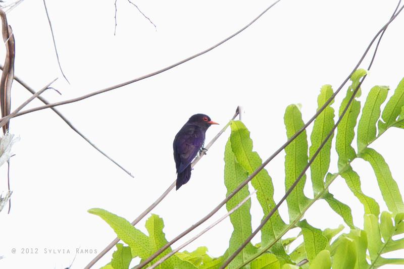 VIOLET CUCKOO <i>Chysococcyx xanthorhynchus</i> PICOP, Bislig, Surigao del Sur