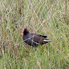 COMMON MOORHEN <i>Galinula chloropus</i> Masantol, Pampanga, Philippines