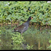 COMMON MOORHEN <i>Galinula chloropus</i> Candaba, Pampanga, Philippines