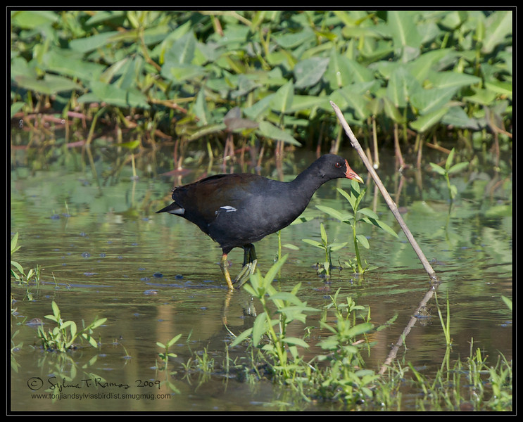 COMMON MOORHEN <i>Galinula chloropus</i> Candaba, Pampanga, Philippines  look at that foot!