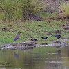 COMMON MOORHENS with BLACK CROWNED NIGHT HERONS <i>Galinula chloropus</i> and <i>Nycticorax nycticorax</i> Masantol, Pampanga, Philippines