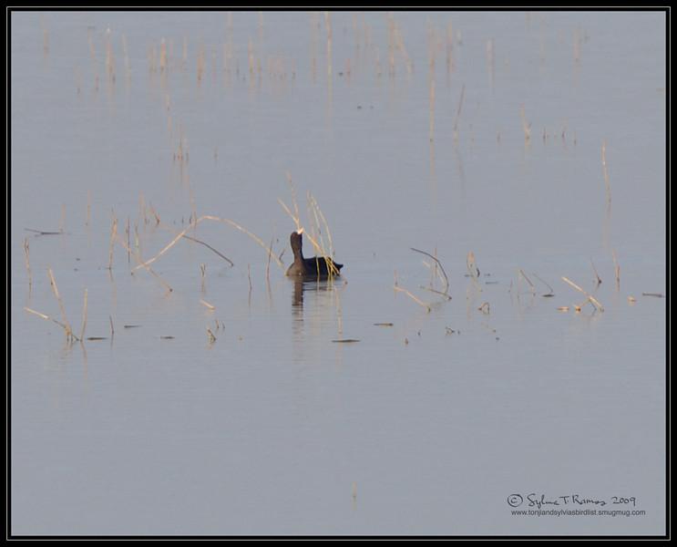 EURASIAN COOT aka Common Coot <i>Fulica atra</i> Candaba, Pampanga, Philippines