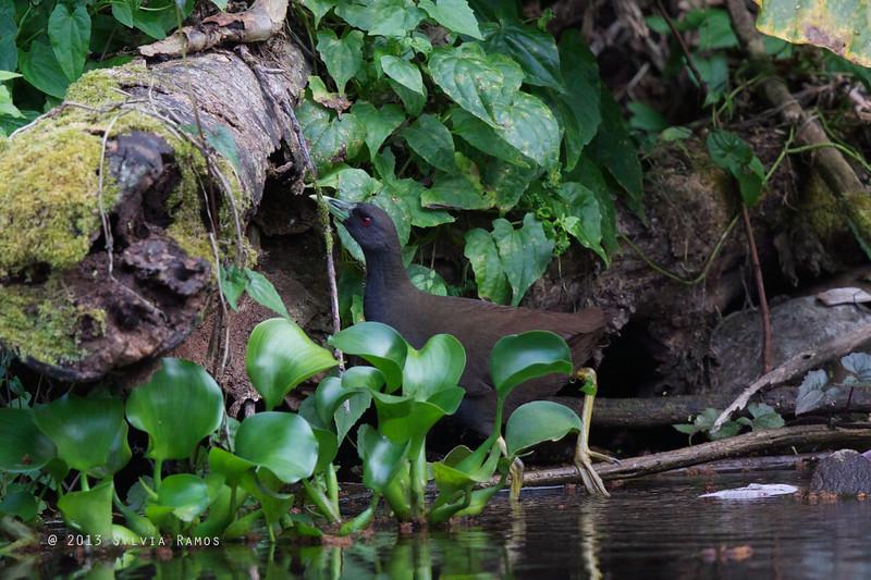 PLAIN BUSH-HEN <i>Amaurornis olivacea</i> Tabucol, Murcia, Negros Occidental